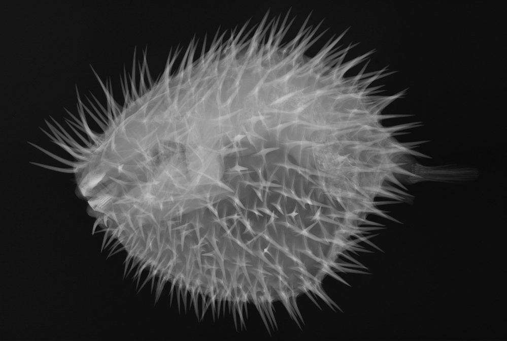 X-ray image of a long-spined porcupine fish<div class='credit'><strong>Credit:</strong> X-ray image of a long-spined porcupine fish</div>