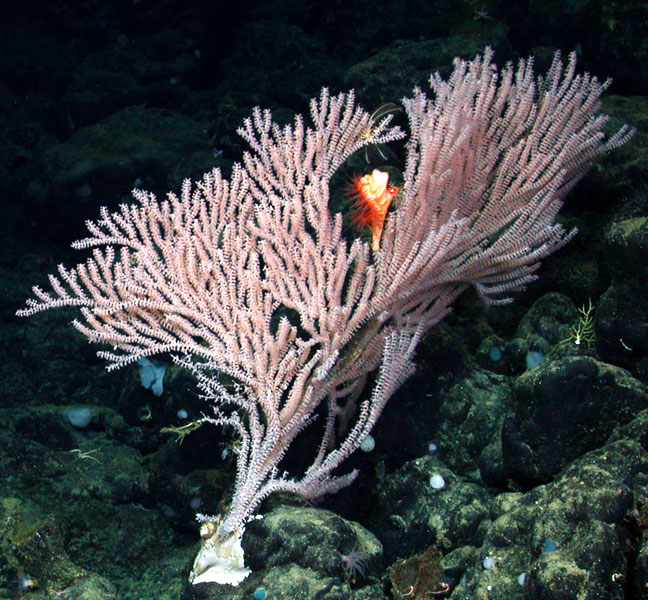 Tree corals like this Calyptrophora bayer can grow several meters high and resemble brightly colored trees. <div class='credit'><strong>Credit:</strong> Tree corals like this Calyptrophora bayer can grow several meters high and resemble brightly colored trees. </div>