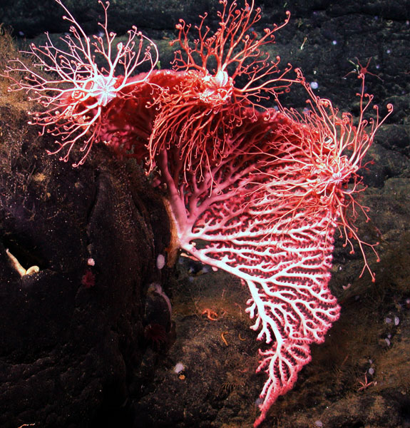 A fan-shaped colony of red coral (Corallium sp.) provides a perch for three basket stars as they feed. <div class='credit'><strong>Credit:</strong> A fan-shaped colony of red coral (Corallium sp.) provides a perch for three basket stars as they feed. </div>
