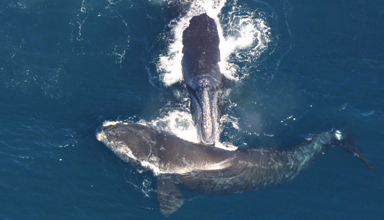 Photograph from above of two right whales, one touching the tip of its mouth to the back of the other..<div class='credit'><strong>Credit:</strong> Photograph from above of two right whales, one touching the tip of its mouth to the back of the other..</div>