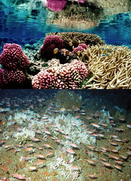 Unlike the shallow tropical coral reef at left, the deep-sea Oculina reef at right does not require sunlight.<div class='credit'><strong>Credit:</strong> Unlike the shallow tropical coral reef at left, the deep-sea Oculina reef at right does not require sunlight.</div>