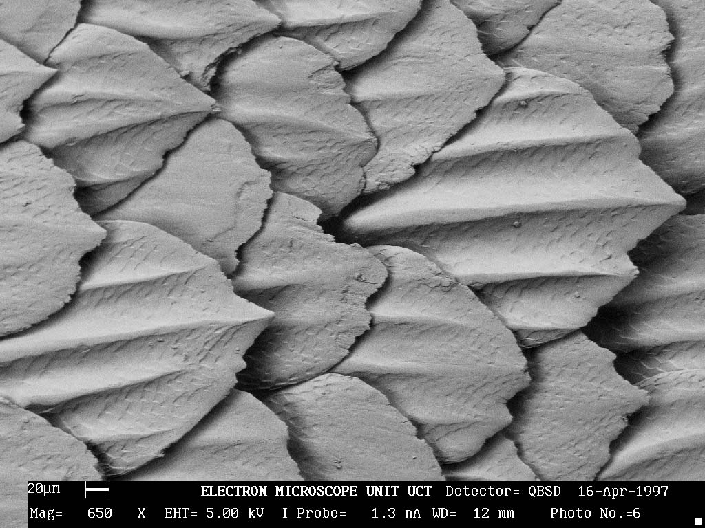 Extreme close-up of great white shark skin denticles.<div class='credit'><strong>Credit:</strong> Extreme close-up of great white shark skin denticles.</div>
