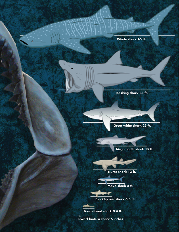 Shark Sizes: Whale Shark 46 feet, Basking Shark 33 feet, Great White Shark 23 feet, Megamouth Shark 15 feet, Nurse Shark 13 feet, Mako Shark 8 feet, Blacktip Reef Shark 6.5 feet, Bonnethead Shark 3.4 feet, Dwaf Lantern Shark 6 inches<div class='credit'><strong>Credit:</strong> Shark Sizes: Whale Shark 46 feet, Basking Shark 33 feet, Great White Shark 23 feet, Megamouth Shark 15 feet, Nurse Shark 13 feet, Mako Shark 8 feet, Blacktip Reef Shark 6.5 feet, Bonnethead Shark 3.4 feet, Dwaf Lantern Shark 6 inches</div>