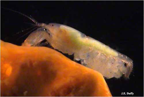 Snapping shrimp queen with eggs.<div class='credit'><strong>Credit:</strong> Snapping shrimp queen with eggs.</div>