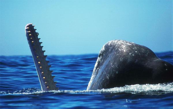A male sperm whale feeding near the surface. <div class='credit'><strong>Credit:</strong> A male sperm whale feeding near the surface. </div>