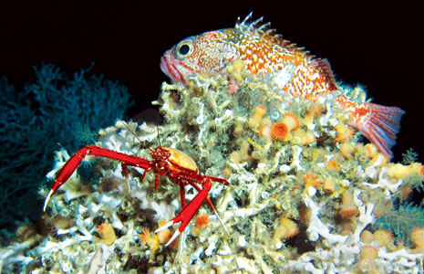 A squat lobster and blackbelly rosefish find shelter on a Lophelia pertusa coral reef off the southeastern United States.<div class='credit'><strong>Credit:</strong> A squat lobster and blackbelly rosefish find shelter on a Lophelia pertusa coral reef off the southeastern United States.</div>