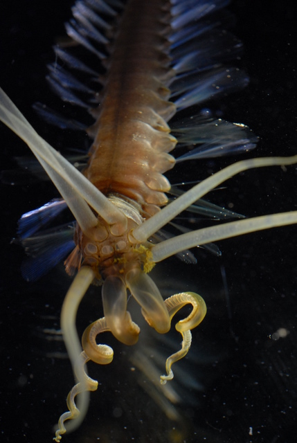 The squidworm has 10 tentacle-like appendages on its head.<div class='credit'><strong>Credit:</strong> The squidworm has 10 tentacle-like appendages on its head.</div>
