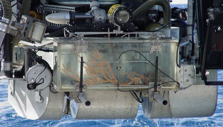 The Johnson-Sea-Link submersible returns with a specimen of Keratoisis bamboo coral inside its collection box. <div class='credit'><strong>Credit:</strong> The Johnson-Sea-Link submersible returns with a specimen of Keratoisis bamboo coral inside its collection box. </div>