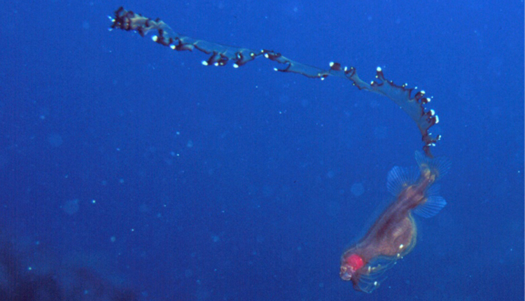 Photo of a sea creature called a Tapetail<div class='credit'><strong>Credit:</strong> Photo of a sea creature called a Tapetail</div>