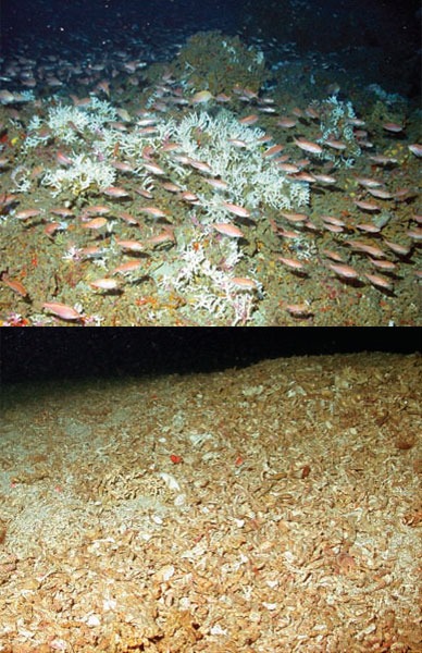 A comparison of an undisturbed Oculina coral reef and one that has been devastated by trawling.  <div class='credit'><strong>Credit:</strong> A comparison of an undisturbed Oculina coral reef and one that has been devastated by trawling.  </div>