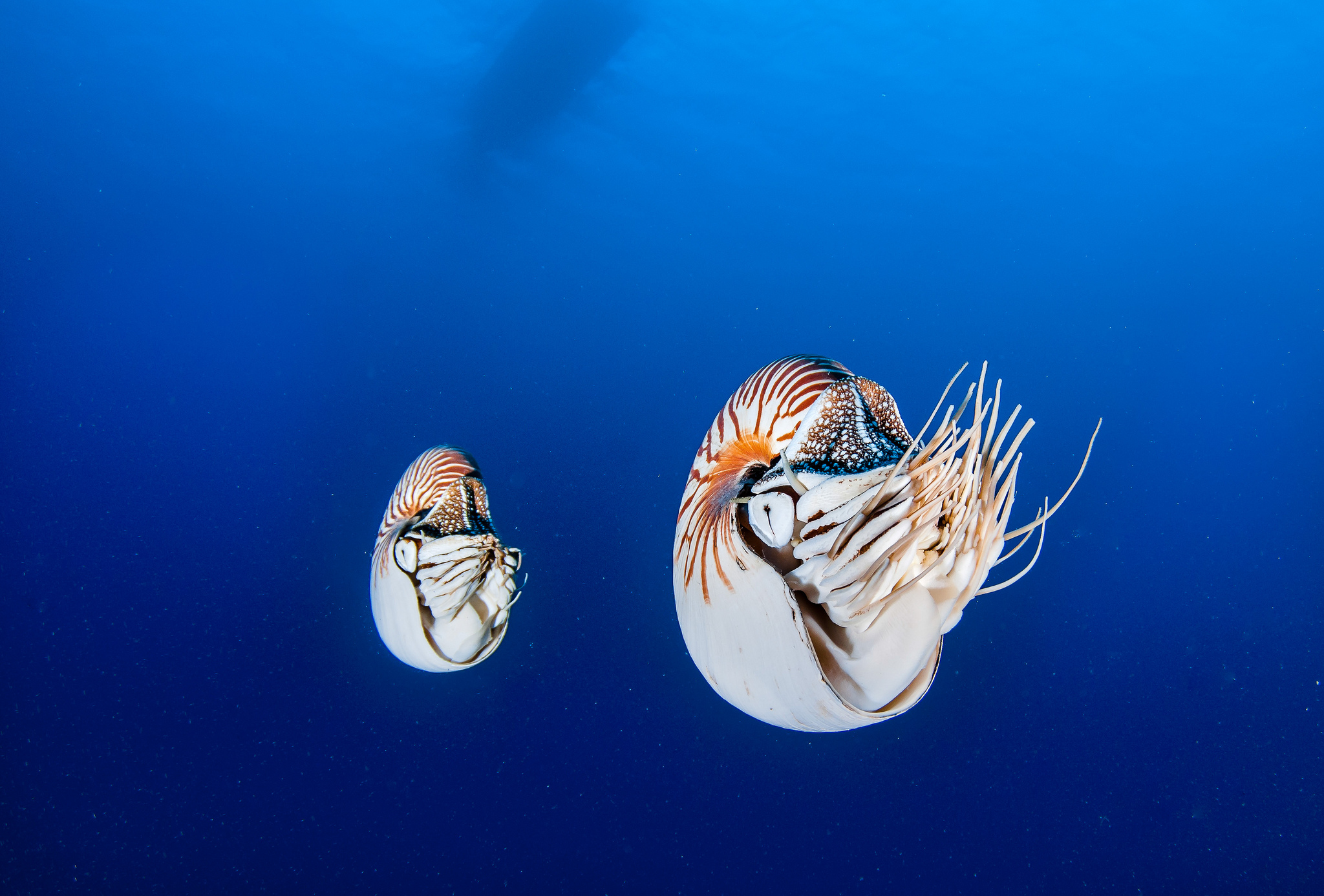 Two nautiluses in the open ocean off the coast of Palau.