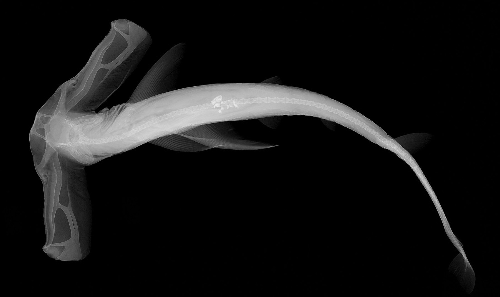 X-ray image of a winghead shark<div class='credit'><strong>Credit:</strong> X-ray image of a winghead shark</div>