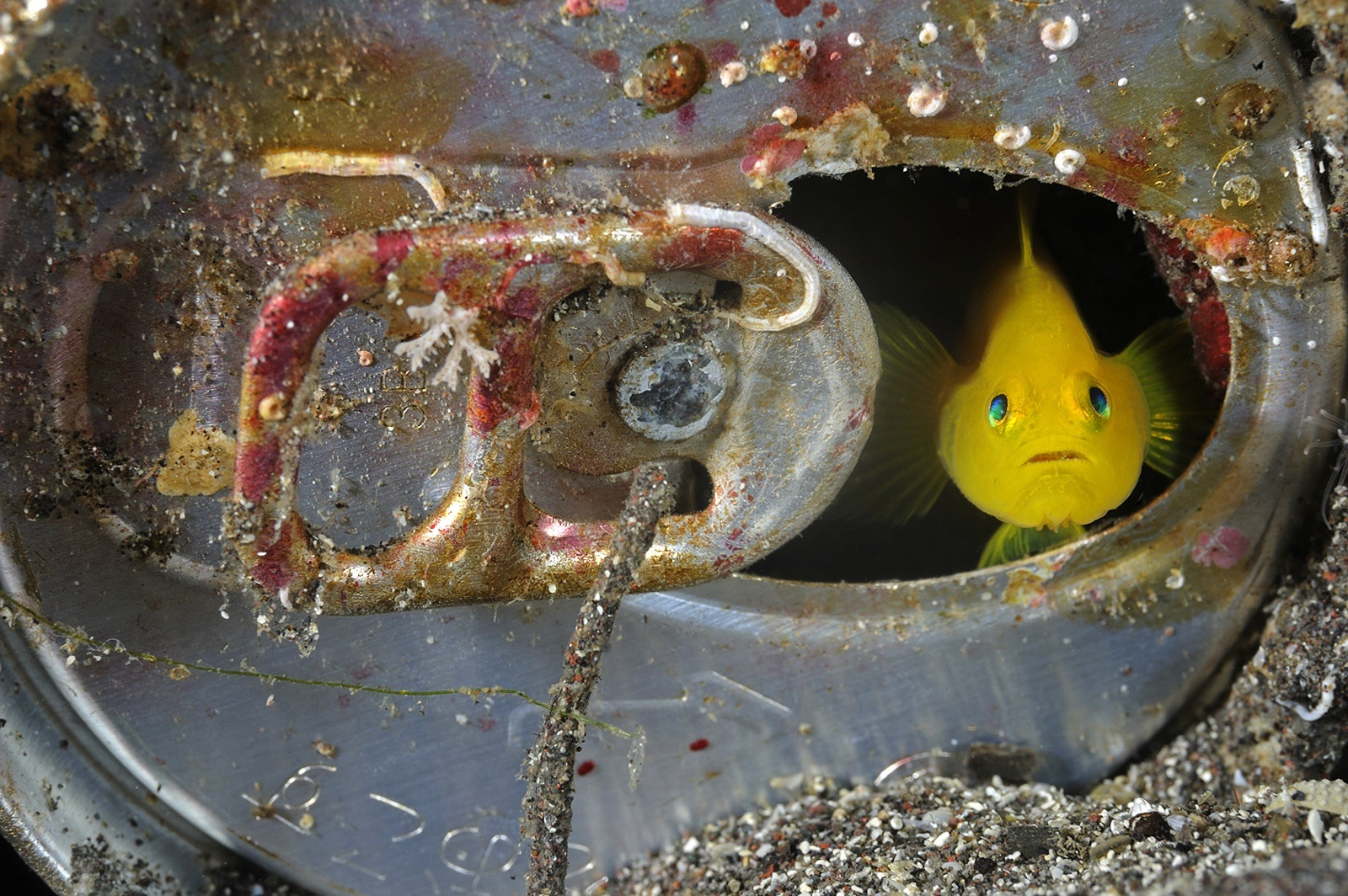 A tiny yellow goby living inside an abandoned can on the seafloor; Suruga Bay, Japan<div class='credit'><strong>Credit:</strong> A tiny yellow goby living inside an abandoned can on the seafloor; Suruga Bay, Japan</div>