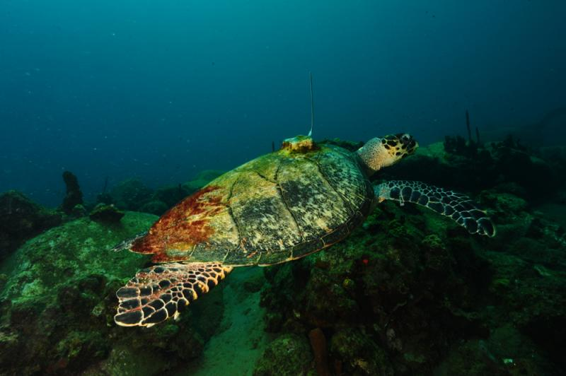 A hawksbill sea turtle with a transmitter on its back.