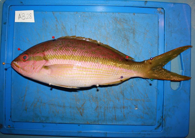 A yellowtail snapper lays on a blue cutting board where it is measured.