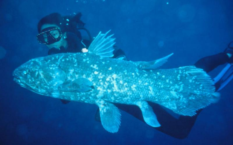 a diver swims with a coelacanth fish