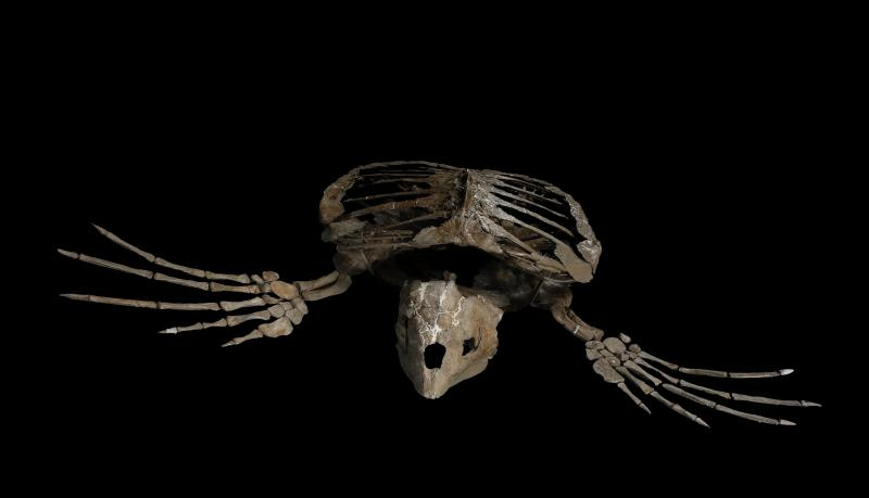 A skeleton of a sea turtle ancestor