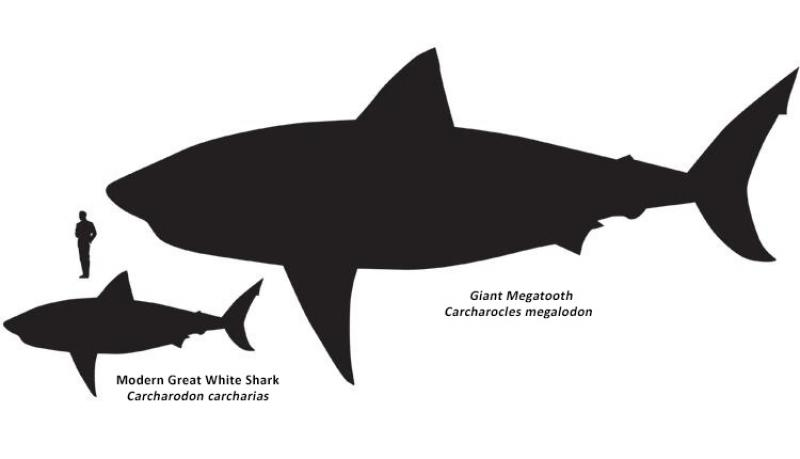 A great white shark next to a giant megatooth shark