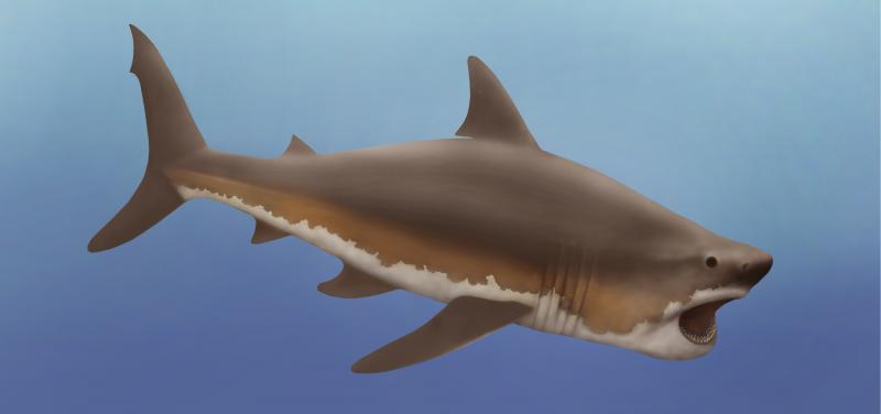 an illustrators representation of what a megalodon shark would look like