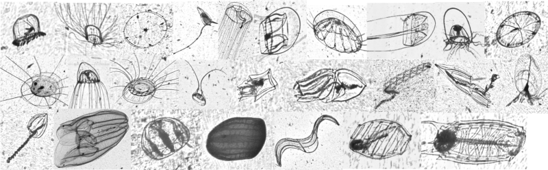 Individual black and white images of a variety of gelatinous zooplankton.