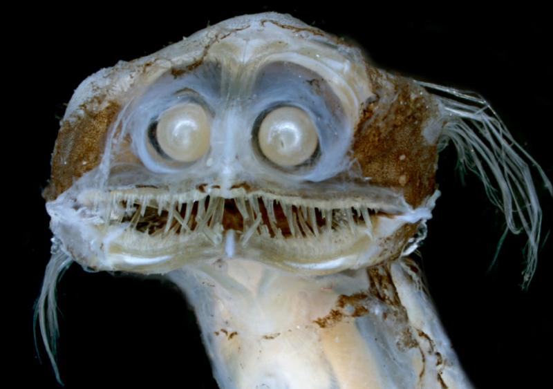 An image of the face of a telescope fish with large pearly eyes.