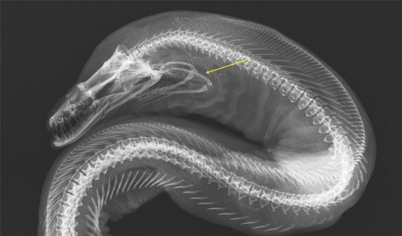 An x-ray black and white photograph of a moray eel that points to the pharyngeal jaw.
