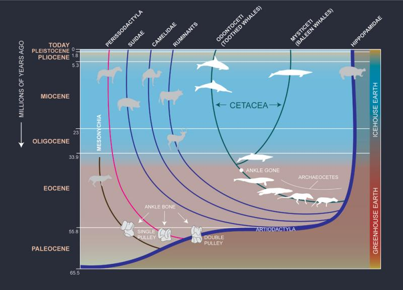 This family tree shows how the ancestors of whales moved gradually from land to sea.