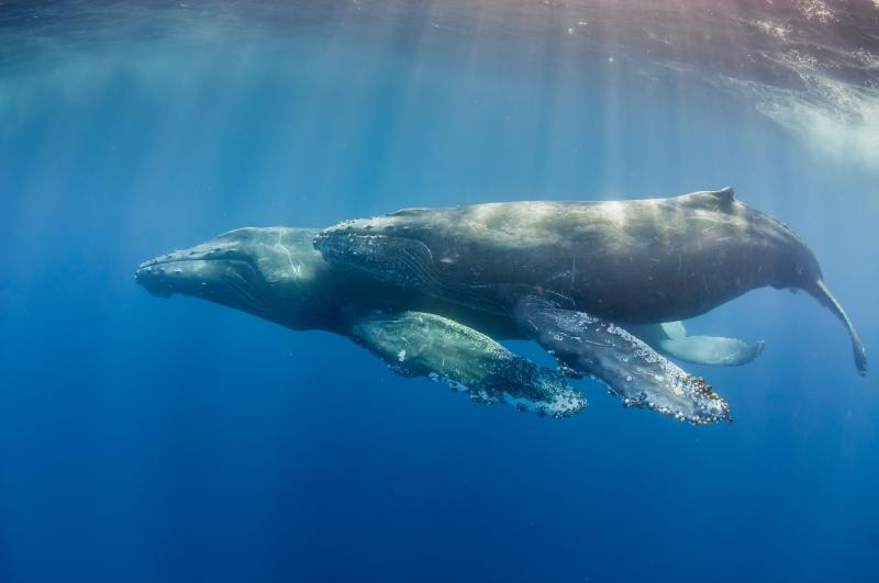 A mother and calf humpback whale swim side-by-side.