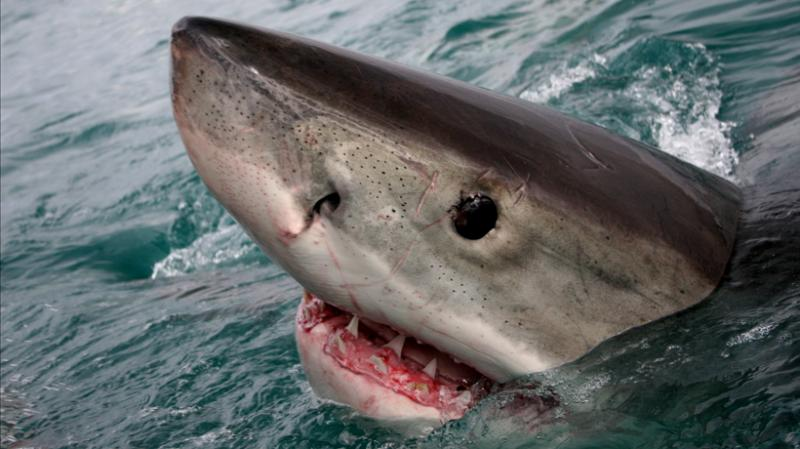 Great White Shark at sea surface – marvels of evolution.