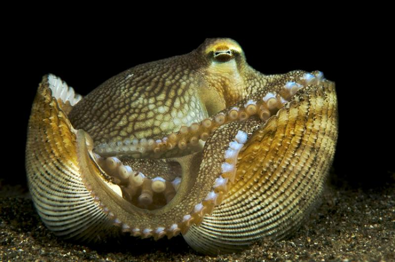 A veined octopus sits inside a vacant bivalve shell, which it uses as a portable shelter, in the Philippines. This is one of the few examples—if not the only example—of tool use in invertebrates.