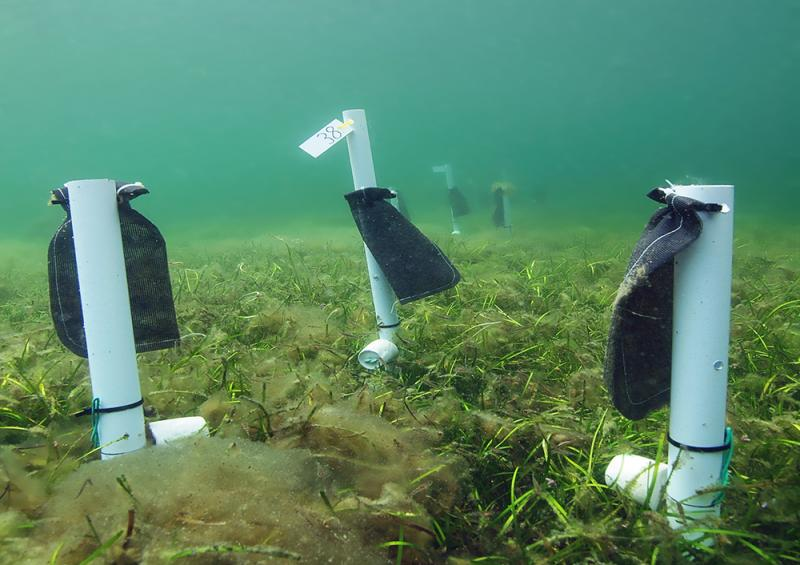 Field experiments conducted by the Zostera Experimental Network (ZEN) explored seagrass biodiversity.