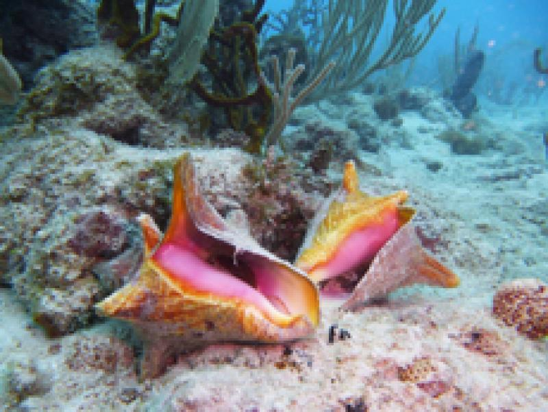 Queen Conch on a reef