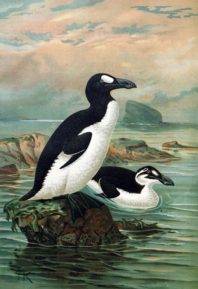 An illustration of two great auks.