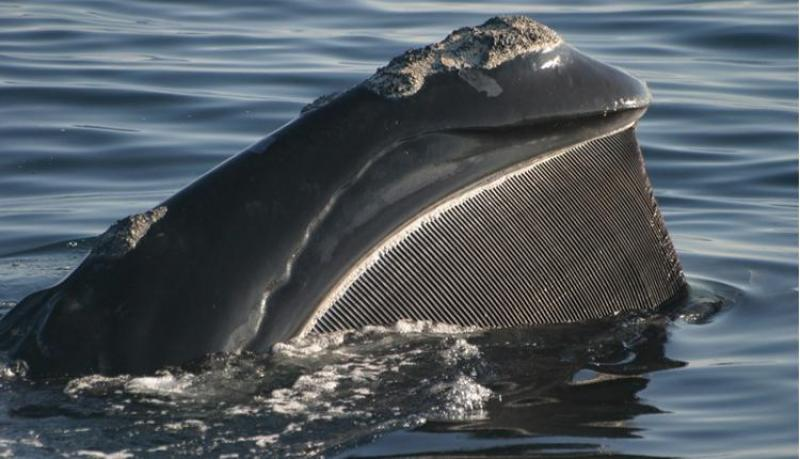 A right whale opens wide, revealing huge plates of baleen hanging from its upper jaw.