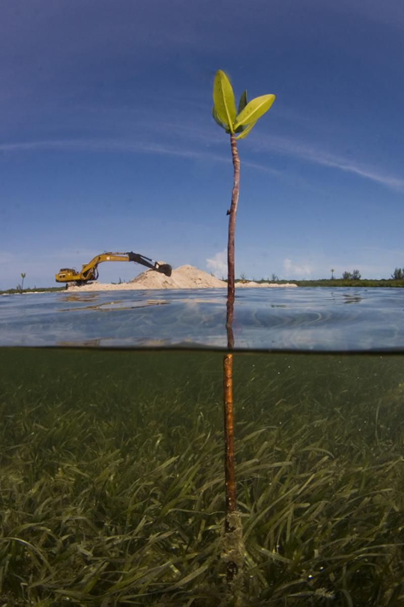 A lone mangrove shoot stands in the path of development in the Bahamas.