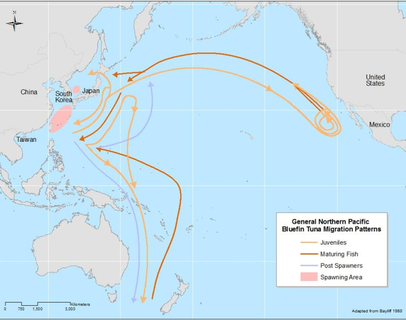 A map of the Pacific Ocean and the migration routes of the tuna