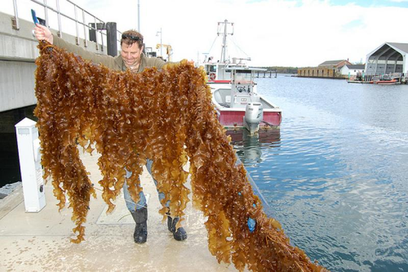 "Sugar kelp from the ""integrated multi-trophic aquaculture"" (IMTA) collaboration between the National Oceanic and Atmospheric Administration (NOAA), New Hampshire Sea Grant, the University of New Hampshire, and the Portsmouth Commercial Fisherman's Asso"