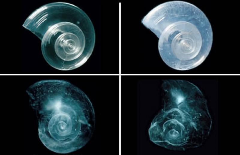A shell placed in seawater with increased acidity slowly dissolves over 45 days.