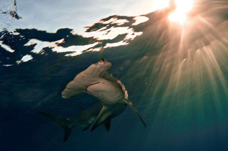 A male great hammerhead shark swims just below the surface of the water in the Bahamas at sunset.