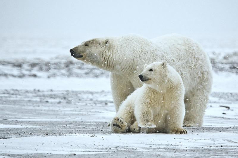 A polar bear and its cub in Arctic National Wildlife Refuge, Alaska.