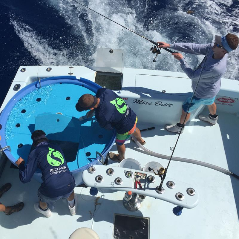 The RECOVER team fishes for wild mahi mahi to tag.