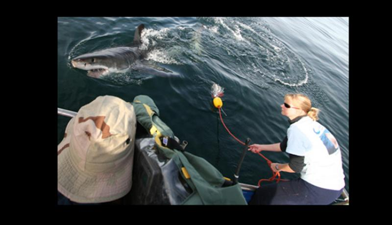 A researcher leans off of a boat to tag a great white shark.