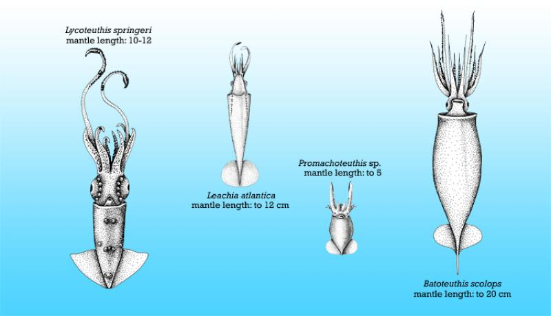 Squid size comparison chart: Lycoteuthis springeri (10-12cm), Leachia atlantica (up to 12cm), Promachoteuthis sp. (up to 5cm), Batoteuthis scolops (up to 20cm).