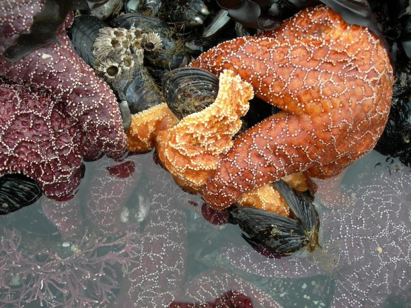 A starfish eating a mussel.