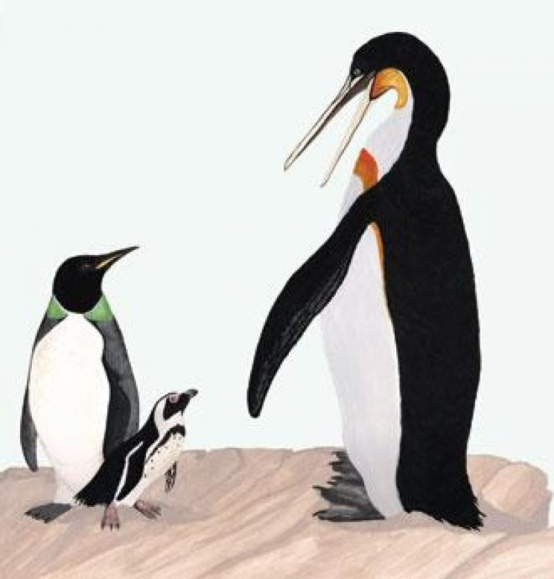 Illustration of two ancient penguin species next to the smaller living Humboldt penguin.