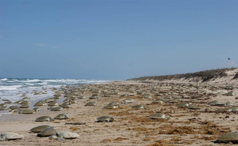 "Every year, at the same place and time, thousands of female Kemp's ridley sea turtles come ashore to nest and lay their eggs on the beach. This mass nesting event is known as an arribada, meaning ""arrival by sea"" in Spanish."