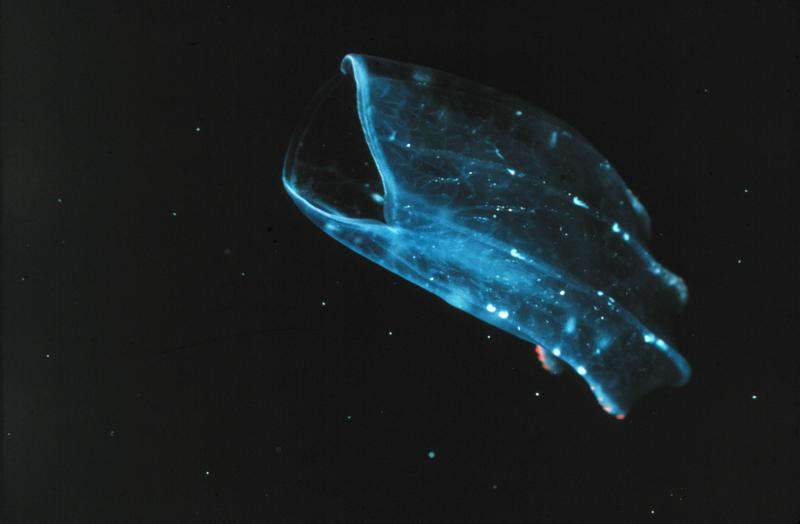 A beroid ctenophore lunges toward prey with its mouth wide open.