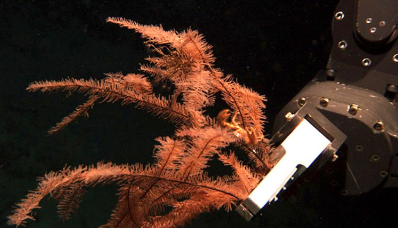 The robotic arm of the Jason, a Remotely Operated Vehicle (ROV), collects several stalks of black coral from the seafloor.