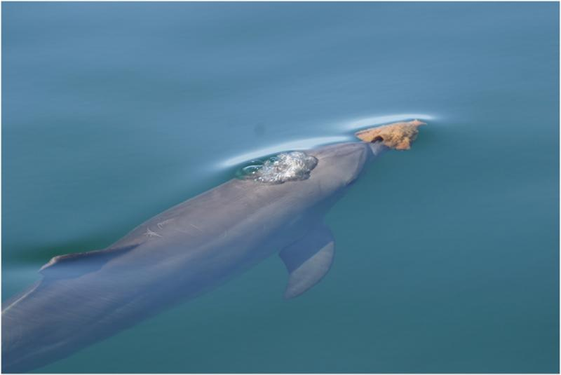 A bottlenose dolphin carries a sponge, which it uses as a tool to dig up prey from the seafloor.