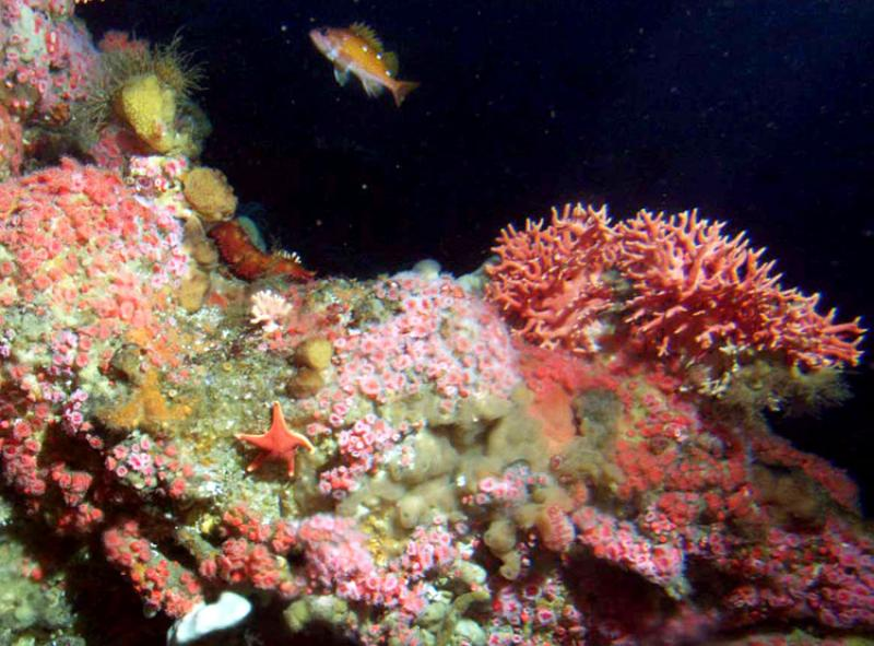 Rockfish, anemones and other invertebrates inhabit this deep-sea coral reef in Cordell Bank National Marine Sanctuary.